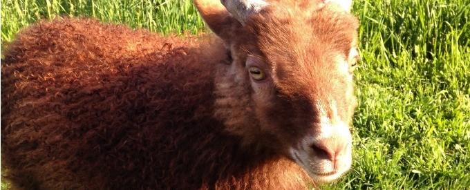 why-icelandic-sheep