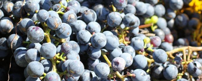 local-grapes-local-wine
