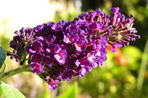 butterfly-bush-for-bees
