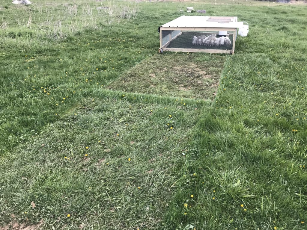 Chicken tractor moving on grass